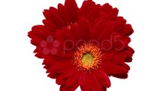 red daisies passion - Stock Footage   by agusacosta