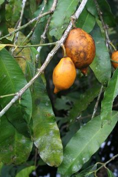 Garcinia macrophylla. Fruits hanging from the tree