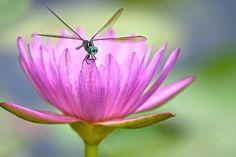 Dragonfly, Thung Tran