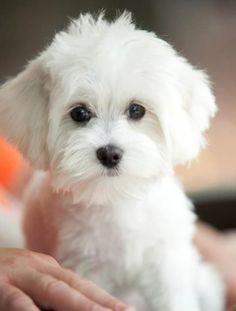 Petit chien blanc trop mignon !! #Jaime