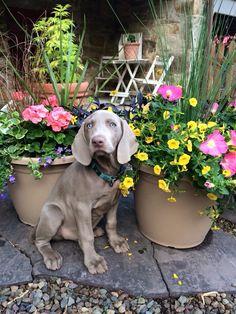 Beautiful weimaraner puppy