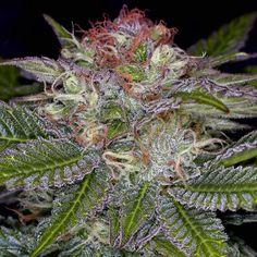 Deep Purple Marijuana Strain by TGA Subcool #mmj #mmot #cannabis #weed #marijuana