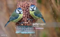 Image result for images of blue tits