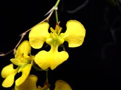 Orchid: Erycina echinata