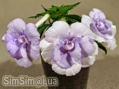 "Beauty will save the world!!!: Achimenes ""Made in Heaven"""