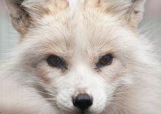 Polar Fox by PenguinPhotography