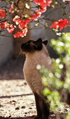 Siamese cat and cherry blossoms.