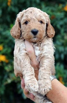 adorable Australian Labradoodle puppies for sale at Crawford doodles