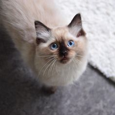 Hungry?  #fjaril201509 #ragdoll #fjarildessi by @fjarilflickans automatic litter box  cat cats kitty cute catlover catsofinstagram catcam instacat catstagram catsagram lovecats cat product reviews