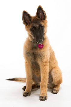 Most Inspiring Cuby Chubby Adorable Dog - 6103d4d3e8d0e72519562fda581eecbf--puppy-sitting-tervueren  Pic_205035  .jpg