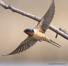 Barn Swallows...had a nest in the carport this year and watched as they fledged 3 babies