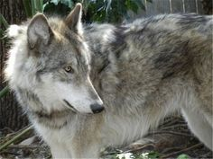 30 Wolf Dog Photos    That Look Like Wolves #dogs