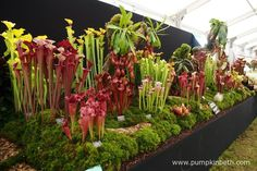 The RHS judges awarded Hampshire Carnivorous Plants a Gold Medal, at the RHS Hampton Court Palace Flower Show Hampton Court, Annual Flowers, Carnivorous Plants, Judges, Flower Show, Stems, Red Flowers, Hampshire, Palace