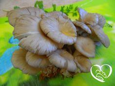 Funghi Pleurotus http://www.cuocaperpassione.it/foodfoolio/212a1f4c-9f72-6375-b10c-ff0000780917/Funghi_Pleurotus