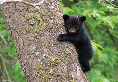 Little black bear Nature Animals, Animals And Pets, Wild Animals, Beautiful Creatures, Animals Beautiful, Beautiful Cats, Black Bear Cub, Bear Cubs, Grizzly Bears