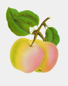 Antique Images: apples