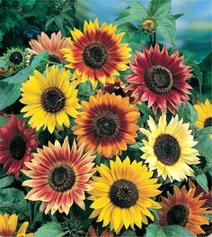Autumn Beauty Sunflower - Helianthus annuus -  20 seeds,  Butterfly Host Plant ~ Easy to Grow by Garden4Butterflies on Etsy