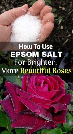 Use Epsom Salt For Brighter, More Beautiful Roses Using Epsom salt for roses has long been a best friend and an excellent supplement for rose growers.Salting Salting or Salted may refer to: Epsom Salt For Roses, Epsom Salt For Plants, Epsom Salt For Tomatoes, Rose Bush Care, Rose Care, Garden Yard Ideas, Lawn And Garden, Garden Tips, Garden Projects