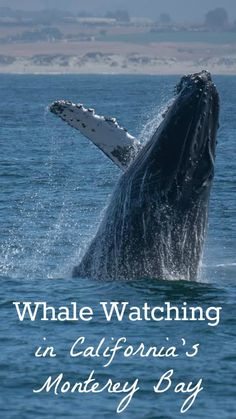 Amazing photos of humpback whales + where to go whale watching in California's Monterey Bay: http://www.everintransit.com/humpback-whale-watching-monterey-bay/
