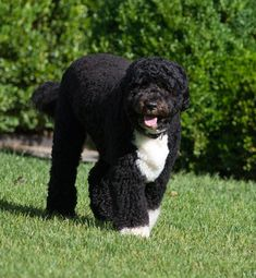 Here are 9 of the best dog breeds for life by the sea Best Dog Breeds, Best Dogs, Irish Water Spaniel, Gordon Setter, Portuguese Water Dog, Fluffy Dogs, Buy Photos, Newfoundland, Staycation