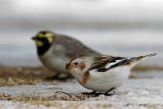 - Σπάνια Πουλιά της Ελλάδας - Επιτροπή Αξιολόγησης Ορνιθολογικών Παρατηρήσεων