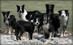 A Bunch of Border Collies