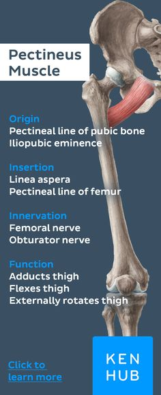 Unlike the other adductors of the thigh, the pectineus receives a double innervation by the obturator and femoral nerve. #learn #anatomy with our #muscle facts!