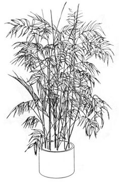 Illustration of a bamboo palm