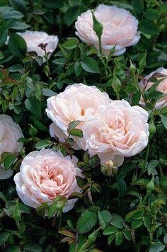 rosa lochinvar