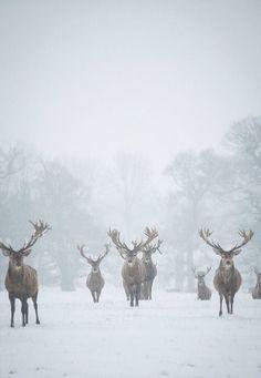 Reindeer Herd...