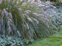 Zoek je een prachtige kleurige eyecatcher voor in je tuin? Siergrassen zijn prachtig met de wuivende pluimen. Juist in deze periode van het jaar zijn de siergrassen op hun best!