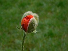 Como plantar papoulas em vaso. Sempre gostei de flores, de todas as cores e feitios. A responsável é minha mãe, foi ela que sempre me mostrou as maravilhas de cada flor, o nome de cada uma e as diferenças entre elas. Nós vivíamos n...