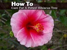 How To Care For A Potted Hibiscus Tree