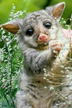 Bush tailed opossum