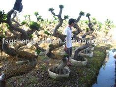 Ficus-microcarpa-big-  S-shape-bonsai-trees.jpg