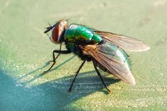 Greenbottle fly captured in the late afternoon sun, so the exposure is a little over exposed.