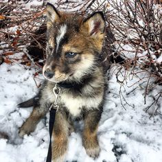 Shalom Shepherd - Native American Indian Dog and German Shepherd mix.