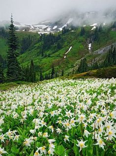 Field of spring lilies in Washington state USA