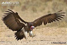 Lappet-faced vulture photo - Torgos tracheliotos - G42795 | ARKive