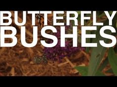 Butterfly Bushes | The Garden Home Challenge With P. Allen Smith
