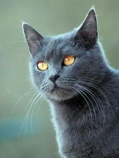 "[Chartreux Blue: "" Me can'ts stand dat cruel human. Me willz looks upon him az simplys a hole in de air."""