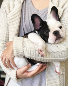 Humphrey, the French Bulldog Puppy