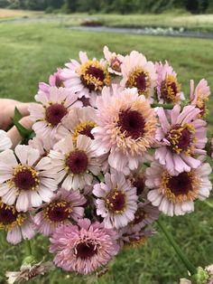 My Favorite Zinnia Varieties + A Farm Update — Flourish Flower Farm Cut Flowers, Spring Flowers, Flower Farmer, Cut Flower Garden, Flower Aesthetic, Bouquet, Flower Seeds, Garden Projects, Gardens