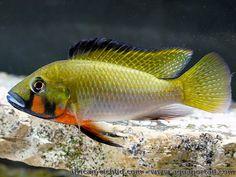 Thoracochromis brauschi, poisson cichlidé du lac Fwa au Congo.