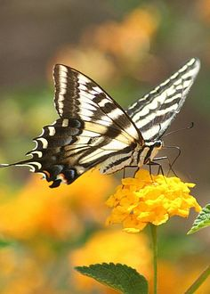 Tiger Swallowtail by Photography by Nicole