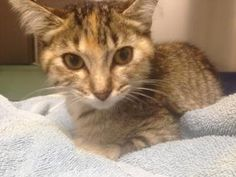 Petango.com – Meet Emmy, a 4 months 27 days Domestic Shorthair / Mix available for adoption in ATCHISON, KS