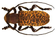 Paranaleptes reticulata-- a beetle wearing a fashionable leopard print!