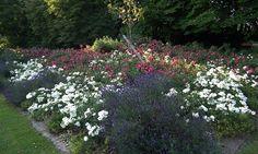 Půdopokryvné růže Flower Beds, Flowers, Plants, Plant, Royal Icing Flowers, Flower, Garden Beds, Florals, Flowers Garden