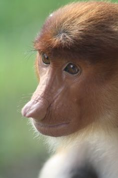 Proboscis Monkey, Borneo. Words, Life and Living. http://www.vacentaylor.com/words-life-and-living/