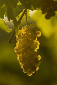Golden secrets in the vineyard Vineyard, The Secret, Fruit
